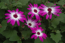 Senetti® Magenta Bicolor Pericallis (Pericallis 'Senetti Magenta Bicolor') at Plants Unlimited