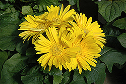 Yellow Gerbera Daisy (Gerbera 'Yellow') at Plants Unlimited