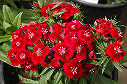 Barbarini Sweet William (Dianthus barbatus 'Barbarini') at Plants Unlimited