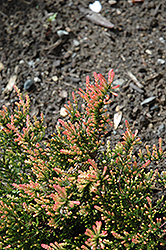 Red Fred Heather (Calluna vulgaris 'Red Fred') at Plants Unlimited