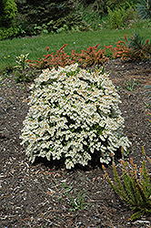 Prelude Japanese Pieris (Pieris japonica 'Prelude') at Plants Unlimited