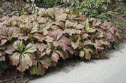 Rodgersia (Rodgersia podophylla) at Plants Unlimited