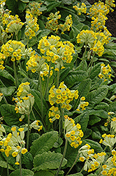 English Cowslip (Primula veris) at Plants Unlimited
