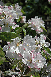 Wealthy Apple (Malus 'Wealthy') at Plants Unlimited
