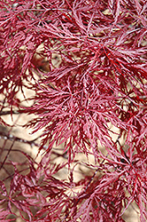 Red Dragon Japanese Maple (Acer palmatum 'Red Dragon') at Plants Unlimited