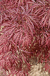 Ever Red Lace-Leaf Japanese Maple (Acer palmatum 'Ever Red') at Plants Unlimited