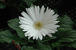 White Gerbera Daisy (Gerbera 'White') at Plants Unlimited