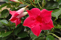 Sun Parasol® Carmine King Mandevilla (Mandevilla 'Sun Parasol Carmine King') at Plants Unlimited