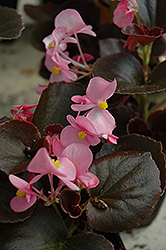 Cocktail Gin Begonia (Begonia 'Cocktail Gin') at Plants Unlimited