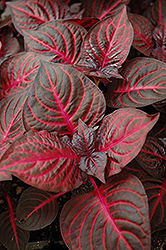Blazin' Rose Blood Leaf (Iresine herbstii 'Blazin' Rose') at Plants Unlimited