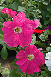 Dreams Coral Morn Petunia (Petunia 'Dreams Coral Morn') at Plants Unlimited