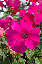 Dreams Burgundy Petunia (Petunia 'Dreams Burgundy') at Plants Unlimited