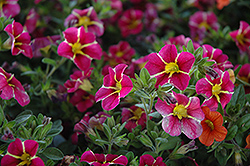 Superbells® Cherry Star Calibrachoa (Calibrachoa 'Superbells Cherry Star') at Plants Unlimited