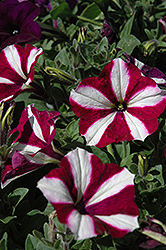 Easy Wave Burgundy Star Petunia (Petunia 'Easy Wave Burgundy Star') at Plants Unlimited