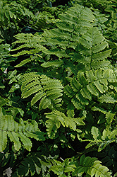 Shaggy Shield Fern (Dryopteris cycadina) at Plants Unlimited