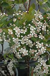 Viking Chokeberry (Aronia x prunifolia 'Viking') at Plants Unlimited