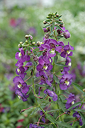 Blue Angelonia (Angelonia angustifolia 'Blue') at Plants Unlimited
