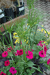 King Tut Egyptian Papyrus (Cyperus papyrus 'King Tut') at Plants Unlimited