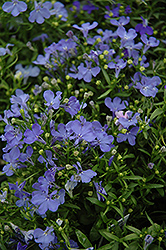 Riviera Sky Blue Lobelia (Lobelia erinus 'Riviera Sky Blue') at Plants Unlimited