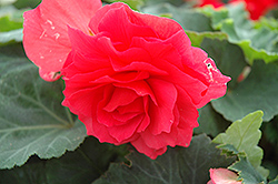 Nonstop® Bright Red Begonia (Begonia 'Nonstop Bright Red') at Plants Unlimited