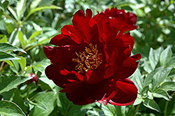 Buckeye Belle Peony (Paeonia 'Buckeye Belle') at Plants Unlimited