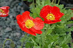 Spring Fever Red Poppy (Papaver nudicaule 'Spring Fever Red') at Plants Unlimited