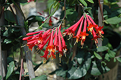 Major Wheeler Coral Honeysuckle (Lonicera sempervirens 'Major Wheeler') at Plants Unlimited