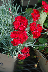 Fire Star Pinks (Dianthus 'Devon Xera') at Plants Unlimited