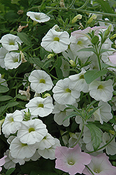 Superbells® White Calibrachoa (Calibrachoa 'Superbells White') at Plants Unlimited