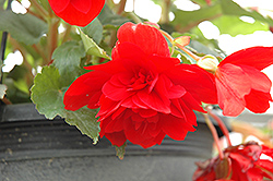 Illumination® Scarlet Begonia (Begonia 'Illumination Scarlet') at Plants Unlimited