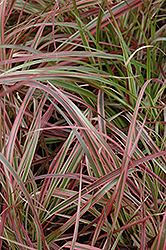 Fireworks Fountain Grass (Pennisetum setaceum 'Fireworks') at Plants Unlimited