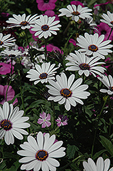 Soprano White African Daisy (Osteospermum 'Soprano White') at Plants Unlimited