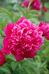 Kansas Peony (Paeonia 'Kansas') at Plants Unlimited