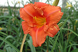 South Seas Daylily (Hemerocallis 'South Seas') at Plants Unlimited