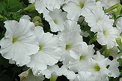 Madness White Petunia (Petunia 'Madness White') at Plants Unlimited