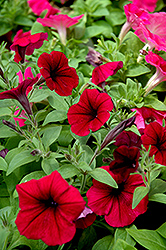 Shock Wave Deep Purple Petunia (Petunia 'Shock Wave Deep Purple') at Plants Unlimited