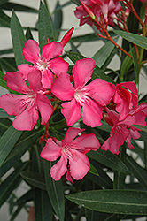 Oleander (Nerium oleander) at Plants Unlimited