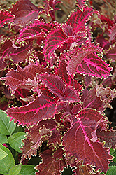 Red Ruffles Coleus (Solenostemon scutellarioides 'Red Ruffles') at Plants Unlimited