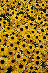 Viette's Little Suzy Coneflower (Rudbeckia fulgida 'Viette's Little Suzy') at Plants Unlimited
