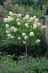 Limelight Hydrangea (tree form) (Hydrangea paniculata 'Limelight (tree form)') at Plants Unlimited