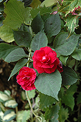 Musica Elegant Red Impatiens (Impatiens 'Musica Elegant Red') at Plants Unlimited