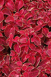 Wizard Velvet Red Coleus (Solenostemon scutellarioides 'Wizard Velvet Red') at Plants Unlimited