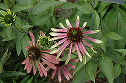 Green Envy Coneflower (Echinacea purpurea 'Green Envy') at Plants Unlimited