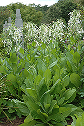 Woodland Tobacco (Nicotiana sylvestris) at Plants Unlimited