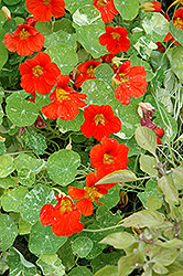 Alaska Nasturtium (Tropaeolum majus 'Alaska') at Plants Unlimited