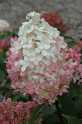Vanilla Strawberry™ Hydrangea (Hydrangea paniculata 'Renhy') at Plants Unlimited