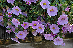 Superbells® Miss Lilac Calibrachoa (Calibrachoa 'Superbells Miss Lilac') at Plants Unlimited
