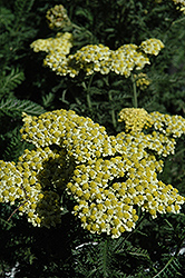 Sunny Seduction Yarrow (Achillea millefolium 'Sunny Seduction') at Plants Unlimited