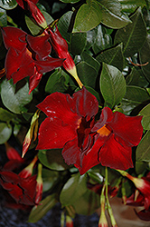 Sun Parasol® Giant Crimson Mandevilla (Mandevilla 'Sun Parasol Giant Crimson') at Plants Unlimited