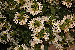 Whirlwind® White Fan Flower (Scaevola aemula 'Whirlwind White') at Plants Unlimited